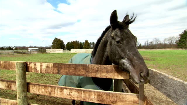 HD MS Black thoroughbred horse wearing blanket standing in paddock corner looking over wooden fence white dappling on face head to profile turning...
