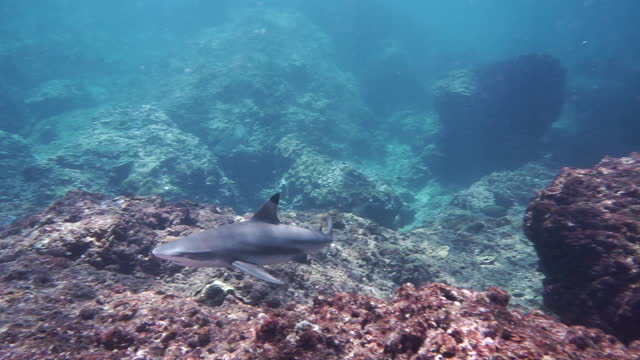 black tip reef shark approaches scuba diver - animal fin stock videos & royalty-free footage