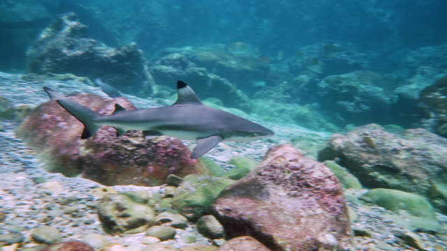 black tip reef shark (carcharhinus melanopterus) in shallow lagoon eco tourism - eco tourism stock videos & royalty-free footage