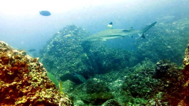 stockvideo's en b-roll-footage met black tip rifhaai (carcharhinus melanopterus) zwemmen close-up op koraalrif, phi phi-eilanden, andaman zee, thailand. - rugvin