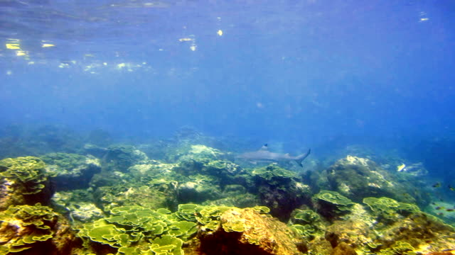 black tip reef shark (carcharhinus melanopterus) swimming close up on coral reef, phi phi islands, andaman sea, thailand. - andaman sea stock videos & royalty-free footage