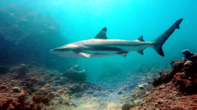 black tip reef shark (carcharhinus melanopterus) swimming close up on coral reef, phi phi islands, andaman sea, thailand. - animal fin stock videos & royalty-free footage