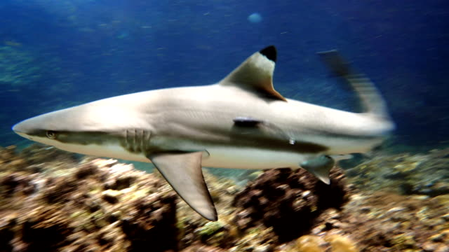 stockvideo's en b-roll-footage met black tip rifhaai (carcharhinus melanopterus) zwemmen close-up - oceaanbodem