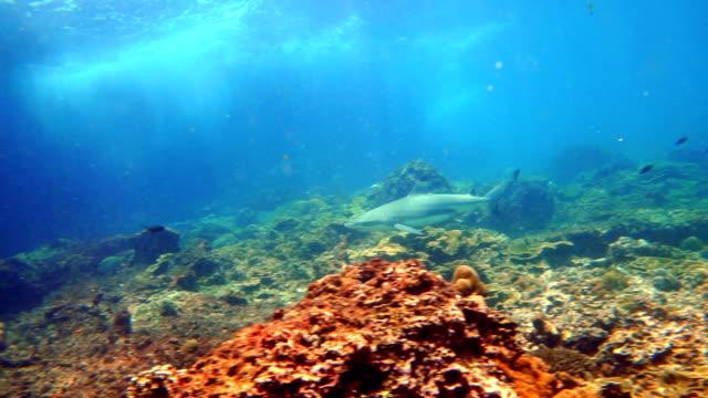 black tip reef shark (carcharhinus melanopterus) swimming close up - iucn red list stock videos & royalty-free footage