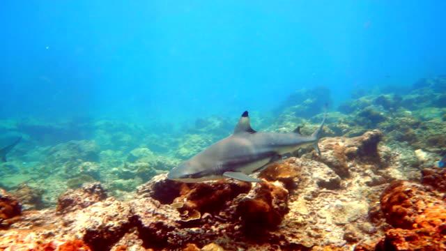 black tip reef shark (carcharhinus melanopterus) swimming close up - threatened species stock videos & royalty-free footage