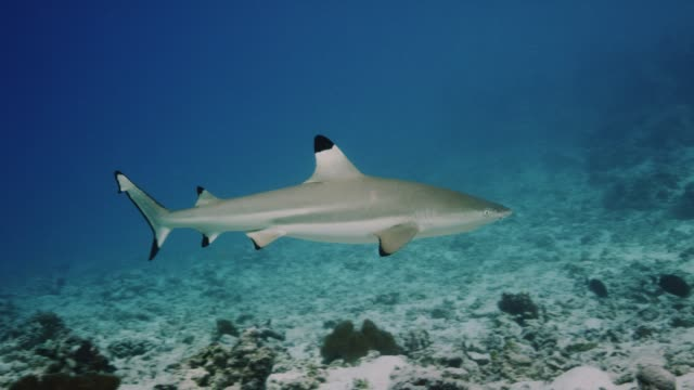 a black tip reef shark swims in the protected lagoon of palmyra atoll, part of pacific remote islands marine national monument. - caribbean reef shark stock videos & royalty-free footage