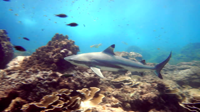 stockvideo's en b-roll-footage met black tip rifhaai (carcharhinus melanopterus) onderwater close-up - oceaanbodem