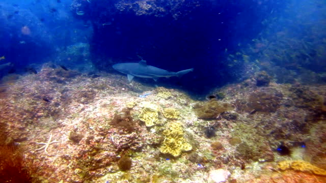 vidéos et rushes de black tip requins de récif (carcharhinus melanopterus) natation bouchent sur le récif de corail, les îles de phi phi, mer d'andaman, thaïlande. - nageoire dorsale