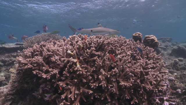 Black tip reef sharks swimming over staghorn coral