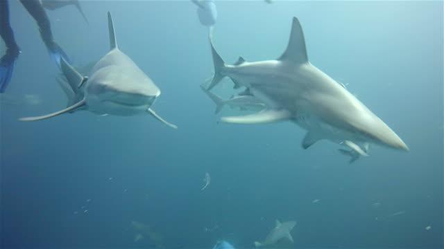 black tip sharks on aliwal shoal - blacktip shark stock videos & royalty-free footage