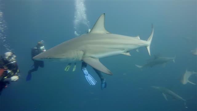 black tip sharks on aliwal shoal - カマストガリザメ点の映像素材/bロール