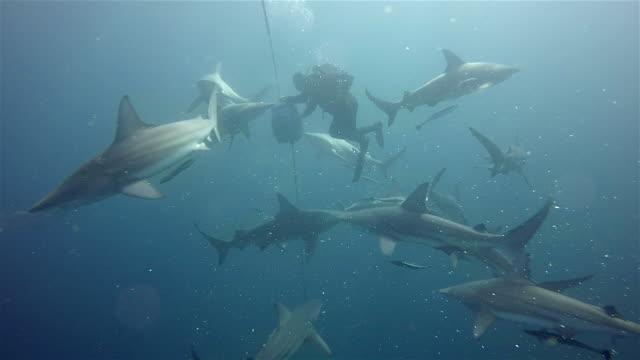 black tip sharks on Aliwal Shoal