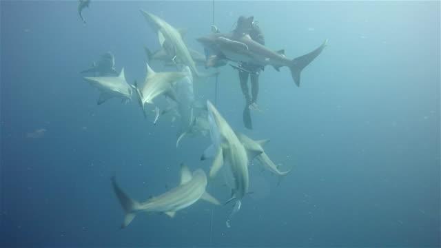 vídeos de stock e filmes b-roll de black tip sharks on aliwal shoal - cheio