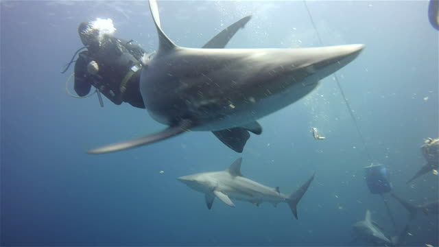 black tip sharks on Aliwal Shoal