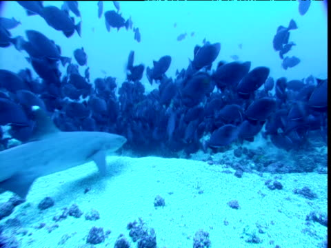 black triggerfish shoal scatters as whitetip reef shark swims through, cocos island, costa rica - whitetip reef shark stock videos and b-roll footage