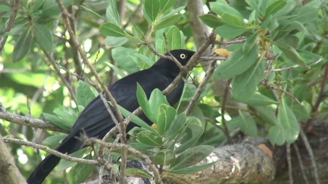Black tropical bird in the thicket - HD 60i