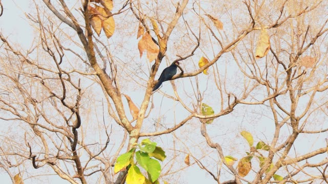 black tropical bird with blue shimmer feathers perched on tree branch and singing. asian koel song - tropical tree stock videos & royalty-free footage