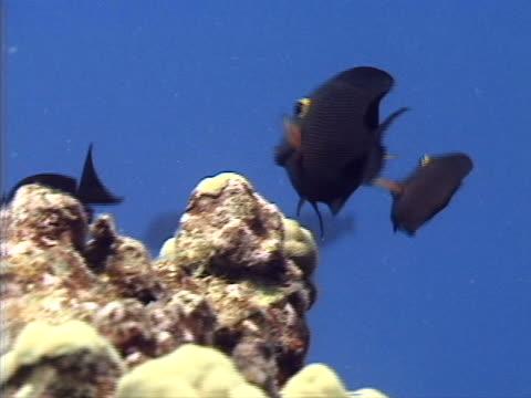 black tropical fish - tierisches exoskelett stock-videos und b-roll-filmmaterial