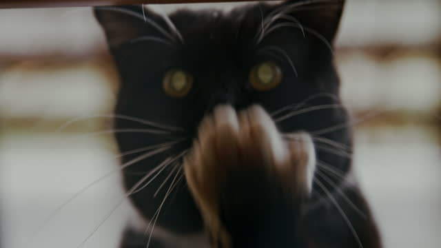 black tuxedo cat scratching on glass door - dinner jacket stock videos & royalty-free footage