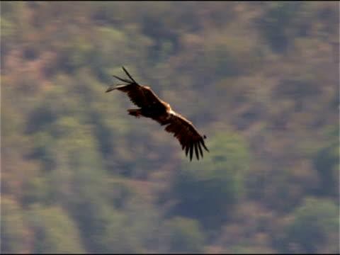vidéos et rushes de black vulture (aegypius monachus) flying, andalucia, spain - vautour moine