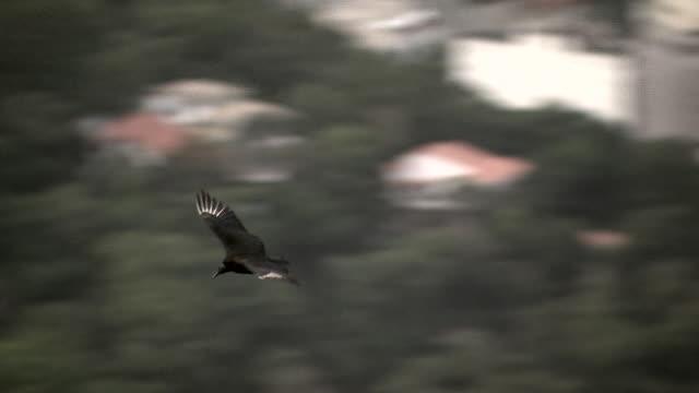 cu of black vulture flying over rio de janeiro, brazil [brasil] - 猛禽点の映像素材/bロール