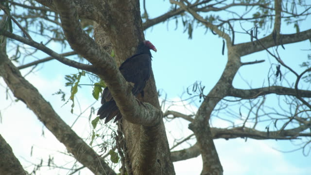 black vulture perched on a tree branch in vinales, cuba - 野生生物保護点の映像素材/bロール