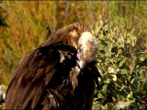 vidéos et rushes de black vulture (aegypius monachus) preening, looks awry at camera, andalucia, spain - vautour moine