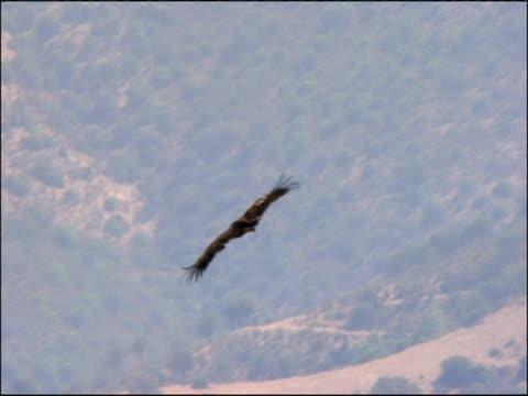 vidéos et rushes de black vulture (aegypius monachus) soaring flight, andalucia, spain - vautour moine