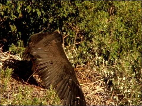 vidéos et rushes de black vulture (aegypius monachus) stretching wings on nest, andalucia, spain - vautour moine