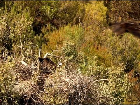 vidéos et rushes de black vulture (aegypius monachus) takes off from nest, andalucia, spain - vautour moine