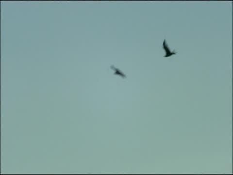 vidéos et rushes de black vultures (aegypius monachus) aerial courtship, andalucia, spain - vautour moine