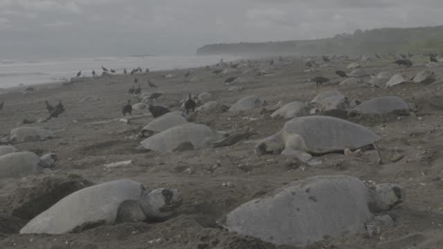 black vultures amongst nesting sea turtles - black olive stock videos & royalty-free footage