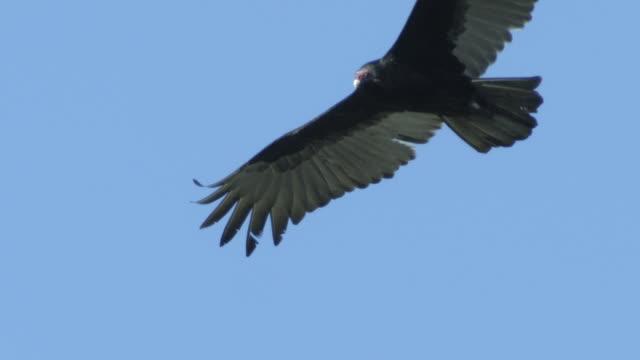 black vultures at vab, nasa - vulture stock videos & royalty-free footage