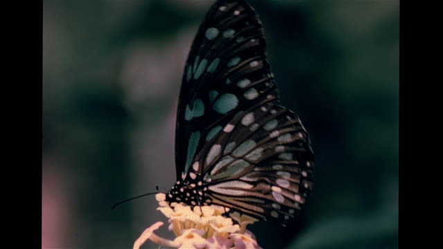 Black white butterflies feeding on flowers CU Beetle eating red ant eating fruit praying mantis on branch termites w/ alate outside nest w/ many...