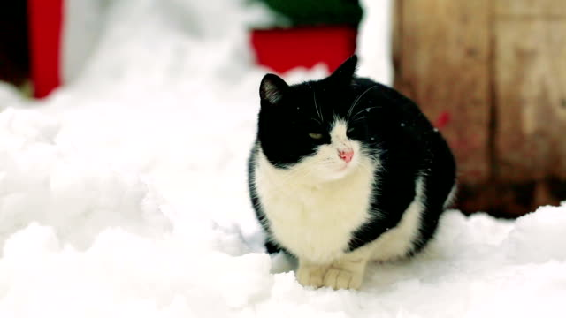 black white cat standing on the snow