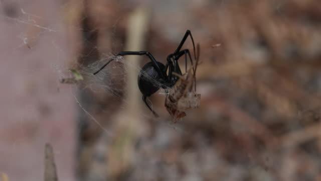 black widow spider - 4k - black widow spider stock videos & royalty-free footage