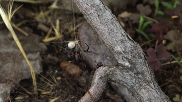 Black Widow Spider attacking other spider stuck in its web