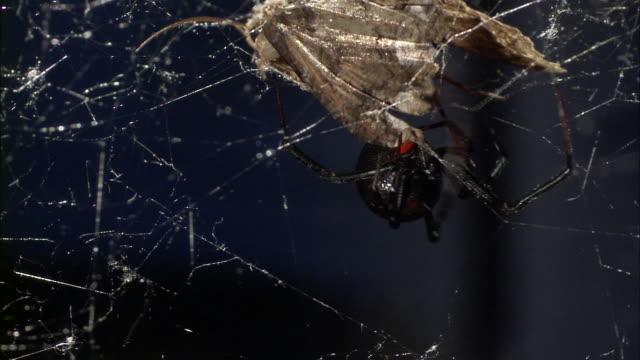 a black widow spider attacks a moth trapped in its web. - black widow spider stock videos & royalty-free footage