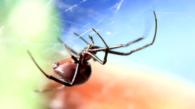 black widow spider climbing in web - spider web stock videos & royalty-free footage