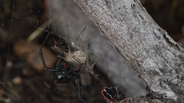 black widow spider collecting its prey stuck in web - black widow spider stock videos & royalty-free footage