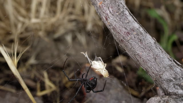 black widow spider crawling around web with grasshopper stuck in it - black widow spider stock videos & royalty-free footage