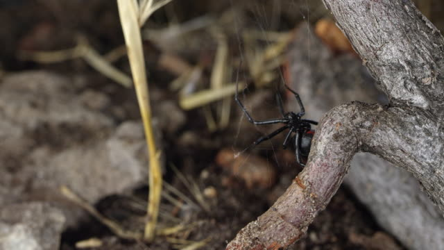 black widow spider crawling from underneath stick - black widow spider stock videos & royalty-free footage