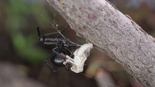 black widow spider crawling on grasshopper stuck in web - black widow spider stock videos & royalty-free footage