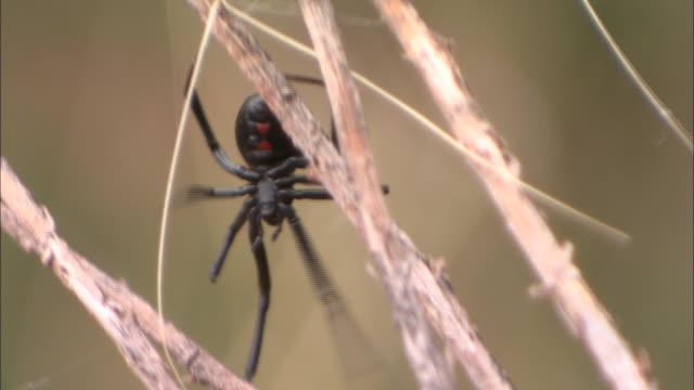 a black widow spider crawls around its egg sac. - black widow spider stock videos & royalty-free footage