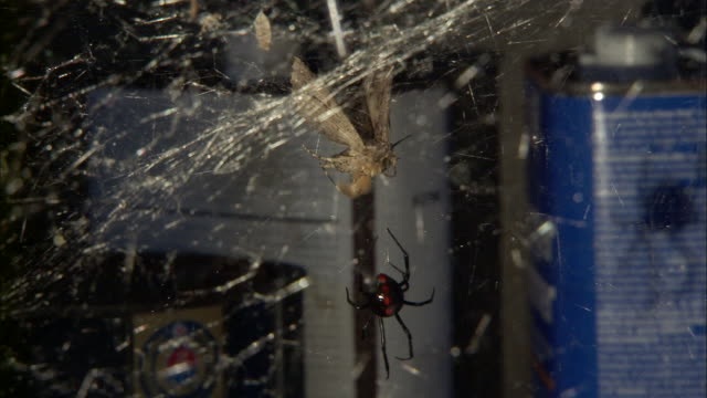 A black widow spider crawls away from a moth trapped in its web.
