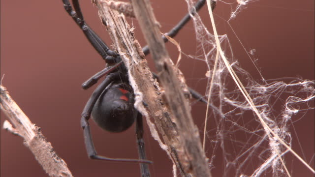 vídeos de stock, filmes e b-roll de a black widow spider crawls down a twig. - widow