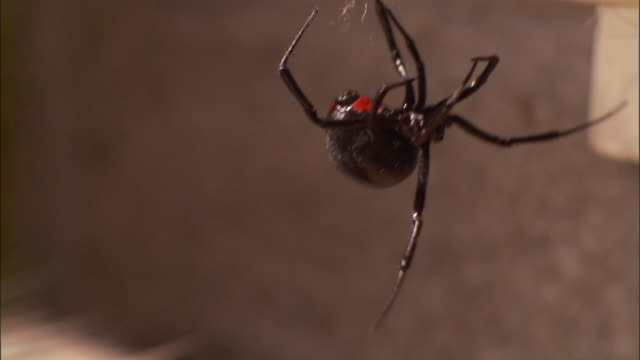 a black widow spider dangles from a web in a basement. - black widow spider stock videos & royalty-free footage