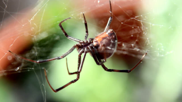 black widow spider hanging from web - black widow spider stock videos & royalty-free footage
