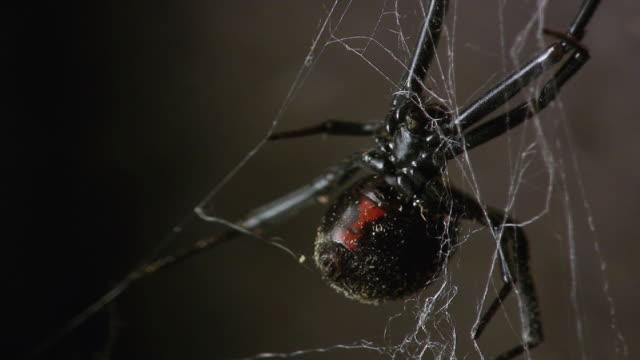 cu, pan, black widow spider (latrodectus mactans) in web, burbank, california, usa - black widow spider stock videos & royalty-free footage