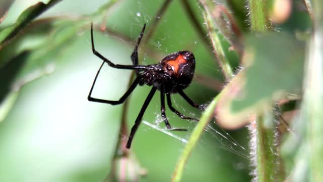 black widow spider in web - black widow spider stock videos & royalty-free footage